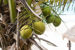 Группа кокоса на пальме Стоковые Фотографии RF