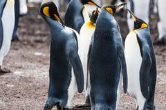 Группа короля пингвина поднимает его голову Стоковое Изображение