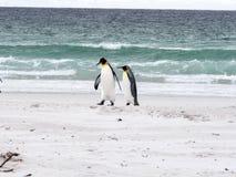 Группа короля пингвина, patagonica Aptenodytes, на белом песчаном пляже добровольного пункта, Falklands/Malvinas Стоковое Изображение RF