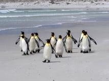 Группа короля пингвина, patagonica Aptenodytes, на белом песчаном пляже добровольного пункта, Falklands/Malvinas Стоковое фото RF