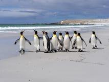 Группа короля пингвина, patagonica Aptenodytes, на белом песчаном пляже добровольного пункта, Falklands/Malvinas Стоковые Фото