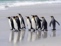 Группа короля пингвина, patagonica Aptenodytes, на белом песчаном пляже добровольного пункта, Falklands/Malvinas Стоковые Фотографии RF
