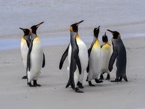 Группа короля пингвина, patagonica Aptenodytes, на белом песчаном пляже добровольного пункта, Falklands/Malvinas Стоковые Изображения