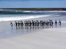 Группа короля пингвина, patagonica Aptenodytes, на белом песчаном пляже добровольного пункта, Falklands/Malvinas Стоковая Фотография RF