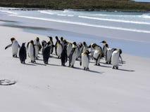Группа короля пингвина, patagonica Aptenodytes, на белом песчаном пляже добровольного пункта, Falklands/Malvinas Стоковая Фотография