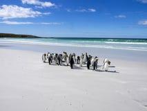 Группа короля пингвина, patagonica Aptenodytes, на белом песчаном пляже добровольного пункта, Falklands/Malvinas Стоковые Изображения RF