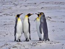 Группа короля пингвина, patagonica Aptenodytes, на белом песчаном пляже добровольного пункта, Falklands/Malvinas Стоковое Фото