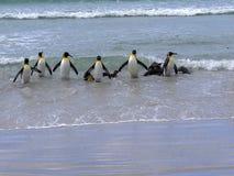 Группа короля пингвина, patagonica Aptenodytes, приходит от моря на пляже добровольного пункта, Falklands/Malvinas Стоковая Фотография