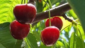Группа красных зрелых вишен на дереве в саде Стоковое Изображение RF