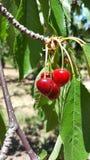 Группа красных зрелых вишен на дереве в саде Стоковое Изображение