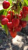 Группа красных зрелых вишен на дереве в саде Стоковое фото RF