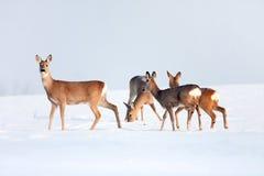 Группа оленей косуль в зиме в солнечном дне. Стоковая Фотография RF