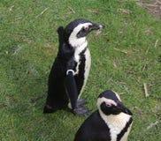 Группа пингвина Стоковое Изображение