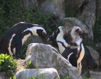 Группа пингвина Humbolt Стоковые Фотографии RF