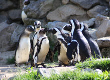 Группа пингвина Humbolt Стоковая Фотография
