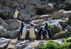Группа пингвина Humbolt Стоковые Фото