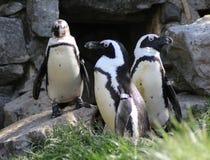 Группа пингвина Humbolt Стоковые Изображения