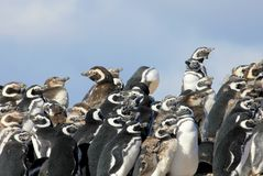 Группа пингвина Magellanic, magellanicus spheniscus, Фолклендские острова Стоковая Фотография RF