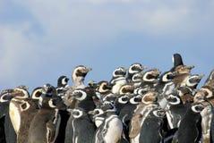 Группа пингвина Magellanic, magellanicus spheniscus, Фолклендские острова Стоковая Фотография
