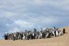 Группа пингвина Magellanic, magellanicus spheniscus, Фолклендские острова Стоковые Фото