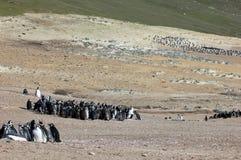 Группа пингвина Magellanic, magellanicus spheniscus, Фолклендские острова Стоковые Изображения RF