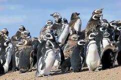 Группа пингвина Magellanic, magellanicus spheniscus, Фолклендские острова Стоковое Изображение