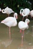 Группа птицы фламингоа Стоковое фото RF