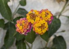 Группа пурпура, оранжевых и желтых цветка завода Lantana Стоковое Изображение