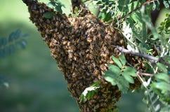 Группа пчелы на ветви дерева Стоковая Фотография RF