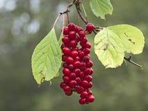 Группа плодоовощей лозы Schisandra магнолии chinensis Стоковое Фото