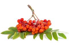 Группа рябины (ashberry) Стоковое Фото