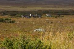 Группа северного оленя Стоковые Изображения RF