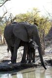 Группа семьи африканских слонов на равнинах Стоковое Фото