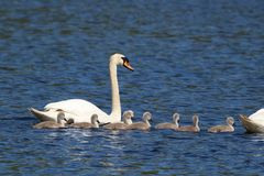 Группа семьи безгласного лебедя стоковые изображения rf