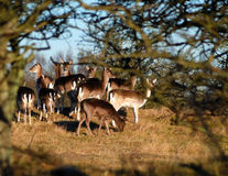группа семьи оленей Стоковое Изображение RF