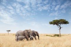 Группа слона в Masai Mara Стоковая Фотография RF