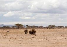 группа слонов Стоковое Изображение RF