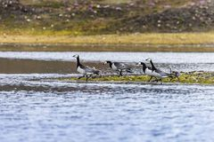Группа с гусыни щипцев Стоковая Фотография