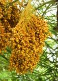 Группа финиковой пальмы Стоковые Фотографии RF