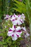 Группа фиолетовых и белых цветков петуньи в цветени Стоковая Фотография RF