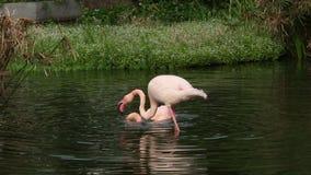 Группа фламинго, Фаренкоптерус розей, Феникоптерский чиленси, в озере видеоматериал