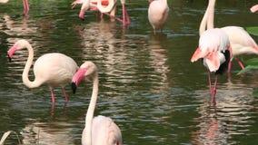 Группа фламинго, Фаренкоптерус розей, Феникоптерский чиленси, в озере акции видеоматериалы