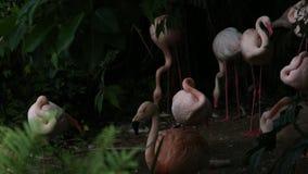 Группа фламинго, Фаренкоптерус розей, Феникоптерус чиленси, отдыхает видеоматериал
