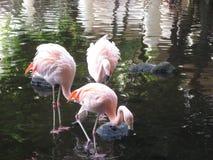Группа фламинго Стоковое Фото