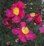 Группа цветения Yuletide Camelia Стоковые Фото