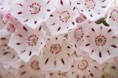 Группа цветка лавра горы Стоковое Изображение RF
