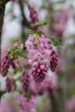 Группа цветка красной смородины Стоковые Фотографии RF