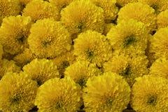 Группа цветка ноготк в конце вверх по взгляду Стоковое Изображение RF