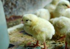 группа цыпленка немногая Стоковые Фотографии RF