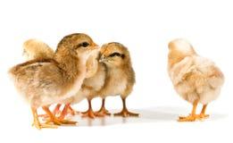 группа цыпленоков Стоковая Фотография RF